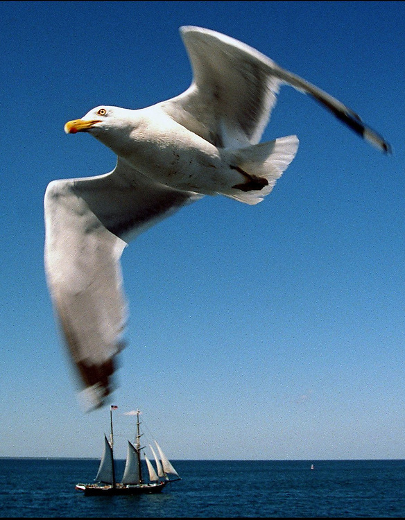 A seagull flies alongside a ferry (not shown) from Woods Hole to Martha's Vineyard as a sailboat passes in the background. Ferry passengers feed the seagulls during the 45-minute trip between the island and the mainland..