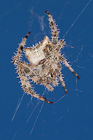 Jewel Spider hanging out in its web in front of a blue sky