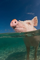 This feral pig has entered the water in hopes of getting a free snack from visiting snorkelers. Exumas, Bahamas, Atlantic Ocean