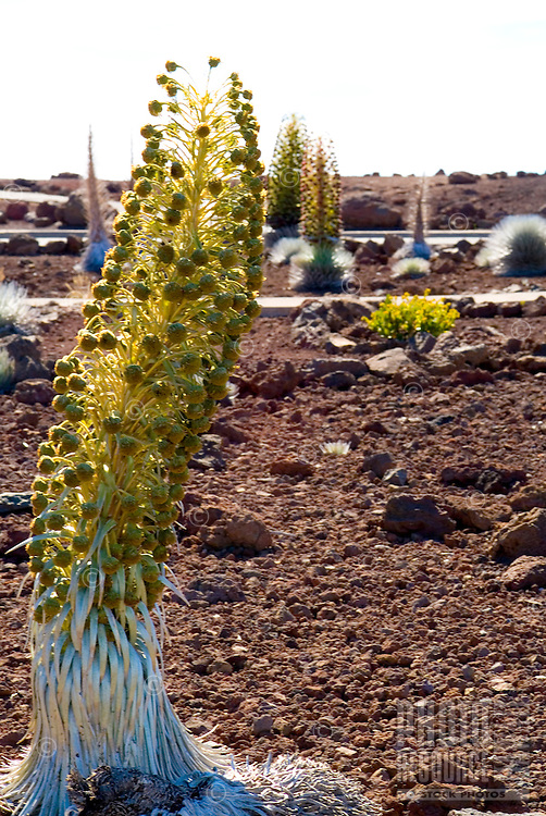 An endangered silversword plant in bloom, which is indigenous only to Haleakala on the island of Maui.