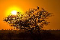 A tawny eagle sits atop an acacia tree at sunset, Tarangire National Park, Tanzania