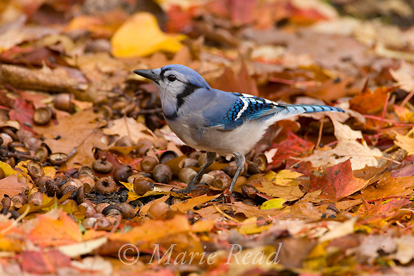 Blue Jay (Cyanocitta cristata) amid fall leaves, New York USA