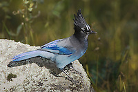 Steller's Jay, Cyanocitta stelleri, adult, Rocky Mountain National Park, Colorado, USA