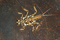 Steinfliege, Großer Uferbold, Larve, Nymphe, Perla marginata, Stonefly, larva, larvae