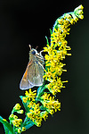 A small Tawny-edged Skipper on a Goldenrod stem against a dark background.