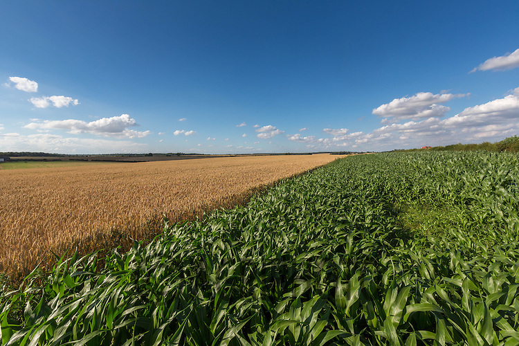 Maize used as a game cover crop in a field of Winter Wheat<br /> Picture Tim Scrivener 07850 303986