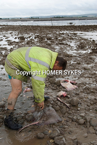 The Last Mudhorse Fishermen. UK 2008. The Sellick family, Stolford, Bridgewater Bay, Somerset. Killing a Thornback Ray.