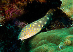 """Diving Bonaire, Netherland Antilles -- Sharptail eels are not too uncommon, often seen moving around the reefs and bottom around Bonaire.  (""""Karpata"""" dive site)."""