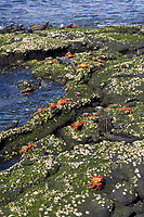Brightly coloured Sally lightfoot crabs (Grapsus grapsus) mix with Galapagos Marine Iguanas (Amblyrhynchus cristatus), Galapagos Islands, Pacific Ocean