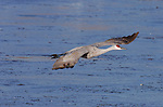Sandhill Crane Morning Flight Portrait Bosque del Apache Wildlife Refuge New Mexico