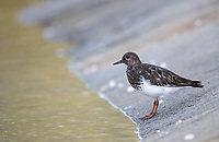We were exploring a narrow passage in our Zodiac when we came across a small flock of Black Turnstones.