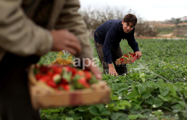 Palestinian farmers harvest strawberries from a field in Beit Lahia, in the northern Gaza Strip, on December 10, 2013. Some 250 acres of strawberry crop are cultivated in these fields yielding some 2500 tons of fruit, some of which will be exported to European countries, helping the stagnant economy of the enclave. Photo by Ashraf Amra