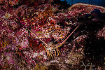 12 June 2014: A Spiny Lobster (Palinuridae) rests on the reef at Conch Pointe, on the North Shore of Grand Cayman Island. Located in the British West Indies in the Caribbean, the Cayman Islands are renowned for excellent scuba diving, snorkeling, beaches and banking.  Mandatory Credit: Ed Wolfstein Photo *** RAW (NEF) Image File Available ***