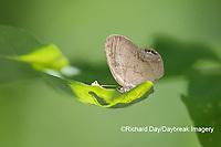 03488-00110 Gemmed Satyr (Cyllopsis gemma) Marion Co. IL