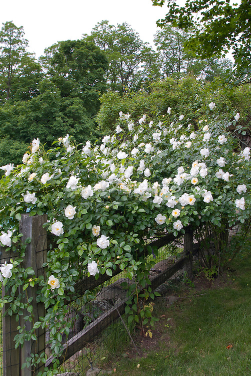 climbing white roses on fence plant flower stock. Black Bedroom Furniture Sets. Home Design Ideas