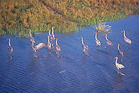 A rare and large congregation of Brolgas, on the coastal floodplains near Kakadu National Park. Brolga (Grus rubicunda), formerly known as the Native Companion, is a bird in the crane family. It has also been given the name Australian Crane. The Brolga is a common, gregarious wetland bird species of tropical and south-eastern Australia and New Guinea.