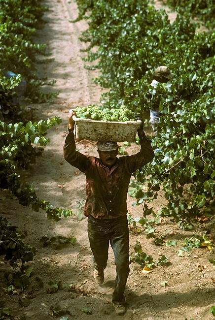 Vineyard worker carries Chardonnay grapes during harvest