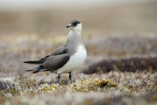 Light morph Parasitic Jaeger (Stercorarius parasiticus) perched on tundra. Yukon Delta National Wildlife Refuge, Alaska. June.