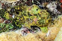 Longlure frogfish, Antennarius multiocellatus, Bonaire, Caribbean Netherlands, Caribbean