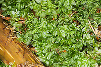 Kriech-Sternmoos, Verwandtes Kriechsternmoos, Sternmoos, Perlenmoos, Plagiomnium affine, Syn. Mnium affine, Mnium cuspidatum