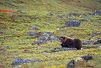 Muskoxen, Atigun canyon, Brooks mountain range, Alaska