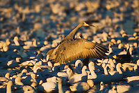 Snow Goose (Chen caerulescens) and Sandhill Crane (Grus canadensis), flock at sunset, Bosque del Apache National Wildlife Refuge , New Mexico, USA,