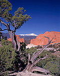 Juniper tree growing up among sandstone formations in Garden of the Gods park, Colorado Springs, CO