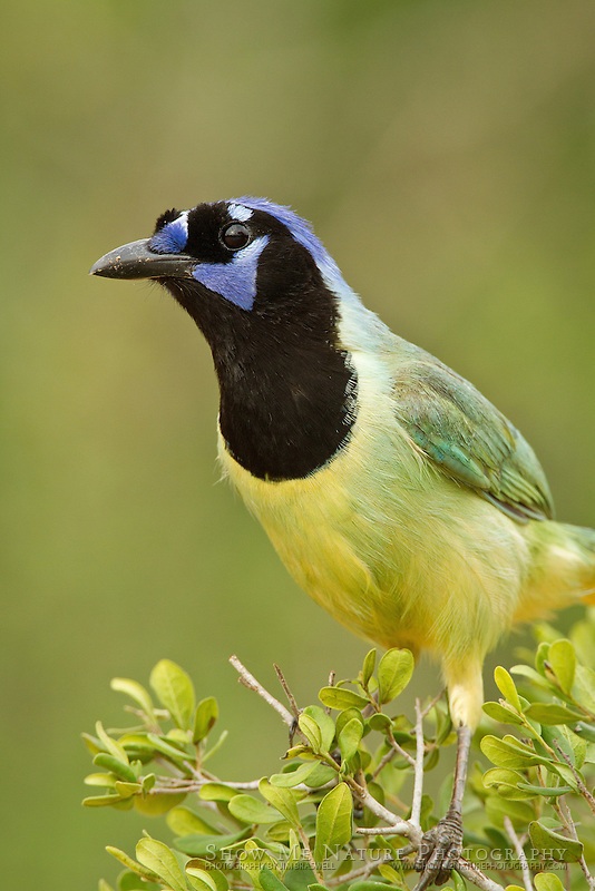 Green Jay sitting in low bush