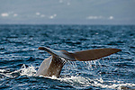 The Sperm Whale or Cachalot, Physeter macrocephalus, displays its fluke, or tail, when diving to feed in the deep waters offshore Pico Island, Azores, Portugal, North Atlantic Ocean.