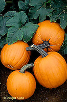 HS24-034x  Pumpkin - harvested pumpkins in garden - Tom Fox variety