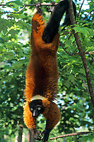 Red ruffed lemur (Varecia  variegata), Endangered Species.