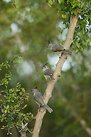 Black-crested Titmouse (Baeolophus bicolor), adult with young perched, Rio Grande Valley, South Texas, Texas, USA