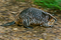 Beaver (Castor canadensis) runs toward water for safety, autumn, Nova Scotia, Canada. Additional blur added to image in processing.