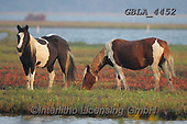 Bob, ANIMALS, REALISTISCHE TIERE, ANIMALES REALISTICOS, horses, photos+++++,GBLA4452,#a#, EVERYDAY