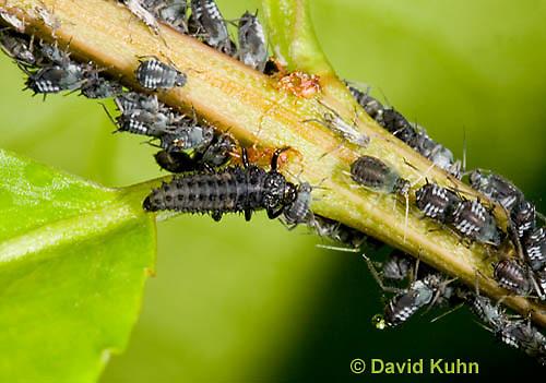 0107-0904  Asian Ladybug Larva, Feeding on Aphids, Harmonia axyridis, Maine  © David Kuhn/Dwight Kuhn Photography