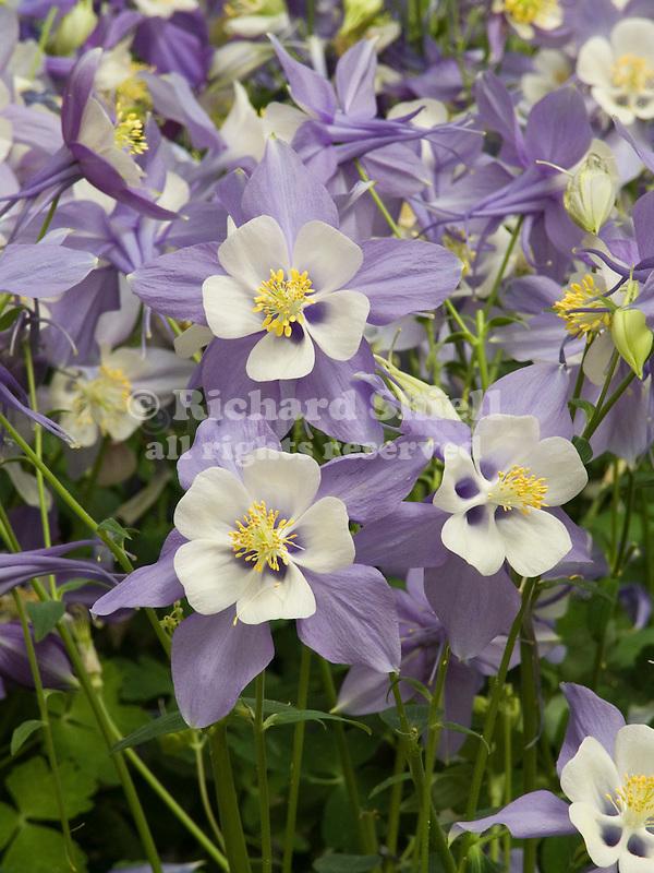 Columbine, Aquilegia Swan Blue & White