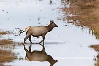 01980-02812 Elk (Cervus elaphaus) cow female crossing stream, Yellowstone National Park, WY