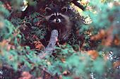 Raccoon , procyon lotor,  in cedar tree in the Upper Peninsula of Michigan