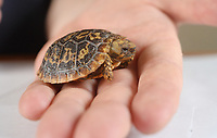 BNPS.co.uk (01202 558833)<br /> Pic: ZacharyCulpin/BNPS<br />  <br /> An adorable tiny tortoise which is only slighter larger than a £1 coin has been born at a British safari park.<br /> <br /> The yet to be named baby tortoise, which weighs just 17 grams, is from the critically endangered Pancake tortoise species.<br /> <br /> It was born as part of a breeding programme at Longleat Safari Park in Wilts to save their depleted numbers.
