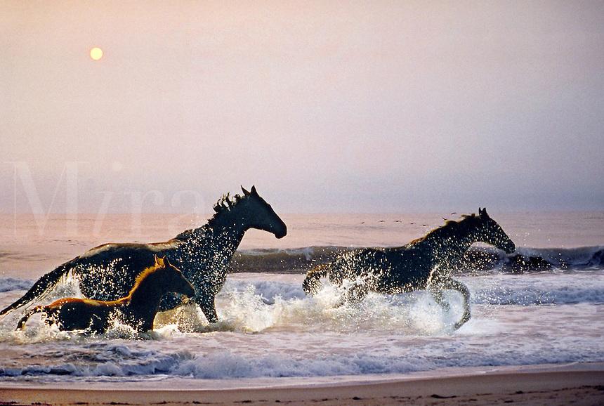 Thoroughbred horses run through the surf at sunrise. Power, beauty, fantasy. Ocean, beach. animals, horse.