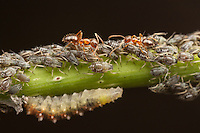 Crazy Ants (Nylanderia flavipes) tend aphids (Aphis sp.) for their honeydew while a syrphid fly larva feeds on the aphids.