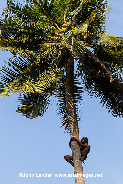 Coconut Cocos nucifera is a member palm family Arecaceae and known for its use as copra and for food throughout the tropics.  The harvesting of coconuts is usually done by climbing the tree with a rope around the ankles of the climber. The coconut climber will cut the bunch at the base of the stalk then lower the batch to the ground. If the ground is hard  bunches are lowered by a rope.