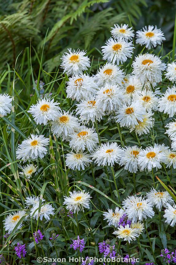 Leucanthemum × superbum 'Goldrausch' Shasta daisy flowering Bellevue Botanical Garden