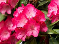 Rhododendron, Gartenanlage Stiegeler Park, Konstanz, Baden-W&uuml;rttemberg, Deutschland, Europa<br /> Rhododendron, in Stiegeler Park gardens, Constance, Baden-W&uuml;rttemberg, Germany, Europe
