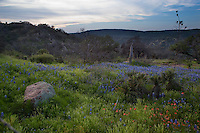 Field of bluebonnets in spring bloom paint the mountains at Willow City Loop Rd. TX