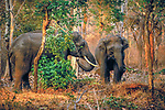 Asian elephants (Elephas maximus), Nagarhole National Park, Karnataka, India<br />