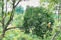 Riemenblume, Riemen-Blume, Eichenmistel, Eichen-Mistel parasitiert auf Eiche, Loranthus europaeus, mistletoe
