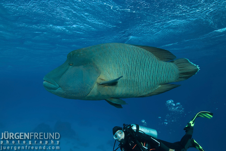 "The humphead wrasse (Cheilinus undulatus) with diver. It is also known as the Maori wrasse, Napoleon wrasse, Napoleonfish; or ""So Mei"" in Cantonese and ""Mameng"" in Filipino."