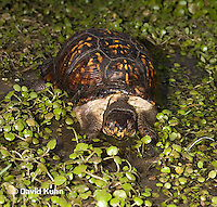 1003-0816  Male Eastern Box Turtle Preparing to Dive into Water with Watercress - Terrapene carolina © David Kuhn/Dwight Kuhn Photography