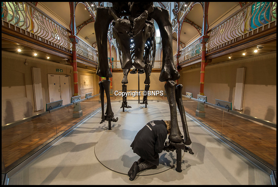 BNPS.co.uk (01202 558833)<br /> Pic: PhilYeomans/BNPS<br /> <br /> Last toe is attached...<br /> <br /> Dippy the Dinosaur makes her first appearance at the Dorchester Museum near the Jurassic Coast in Dorset.<br /> <br /> Dippy the Diplodocus today went on display outside of London for the first time in over 100 years as he began the first leg of a two year tour of the country.<br /> <br /> The Natural History Museum's iconic 292-piece dinosaur skeleton was painstakingly taken down, packed in 12 crates and transported to the Dorset County Museum where he will spend the next three months. <br /> <br /> At 70ft long Dippy just about squeezed into the museum's Victorian Hall gallery which measures 71ft. Experts had to remove some balcony balustrades to fit him in with just four inches to spare.